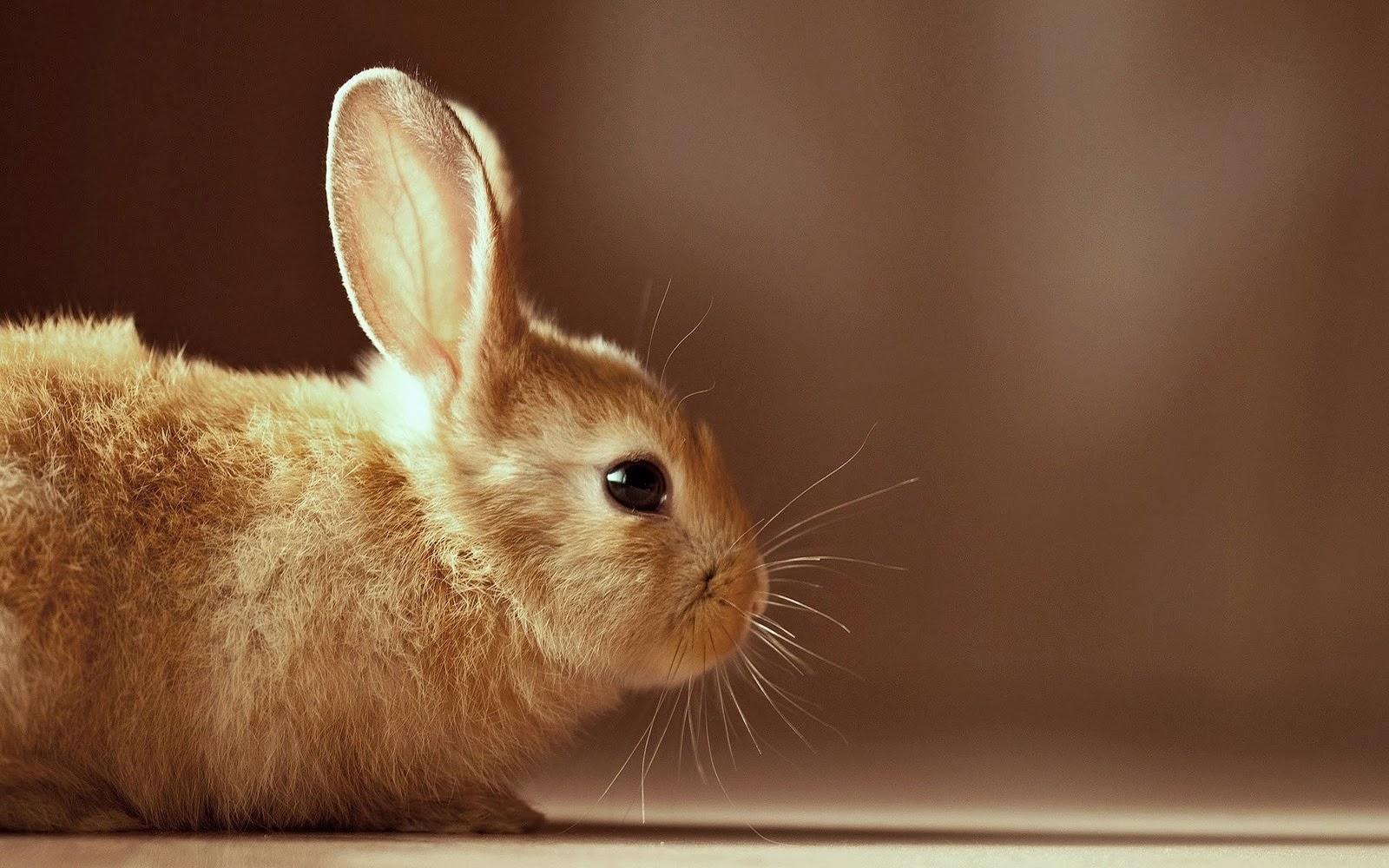 Cute Rabbits Wallpapers Hd Desktop Hd Wallpapers Free Downloads Beautiful Baby