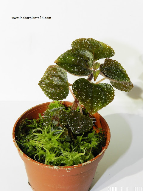 sonerila margaritacea indoors winter care info