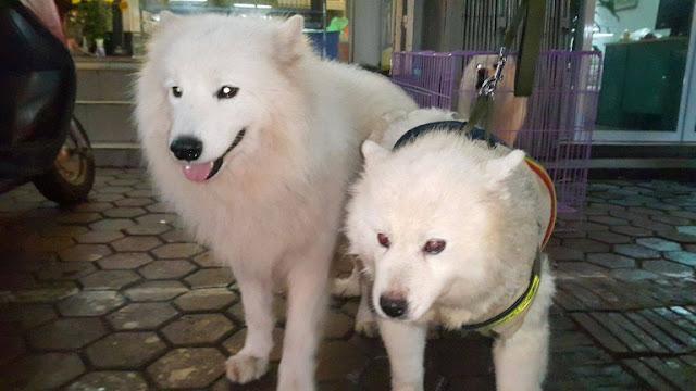 Đực phối giống chó samoyed Linh Tặc