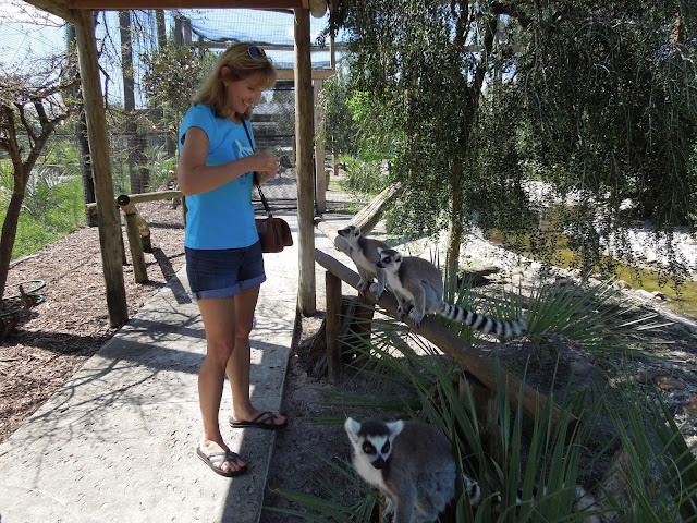 feeding the lemurs