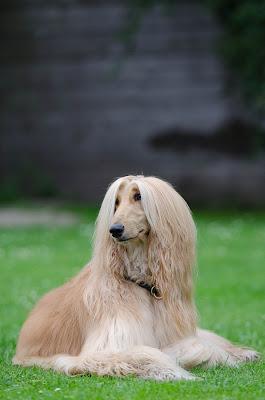 Fastest dog breeds, Speeddogs