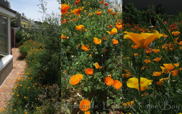 California dreaming in poppies