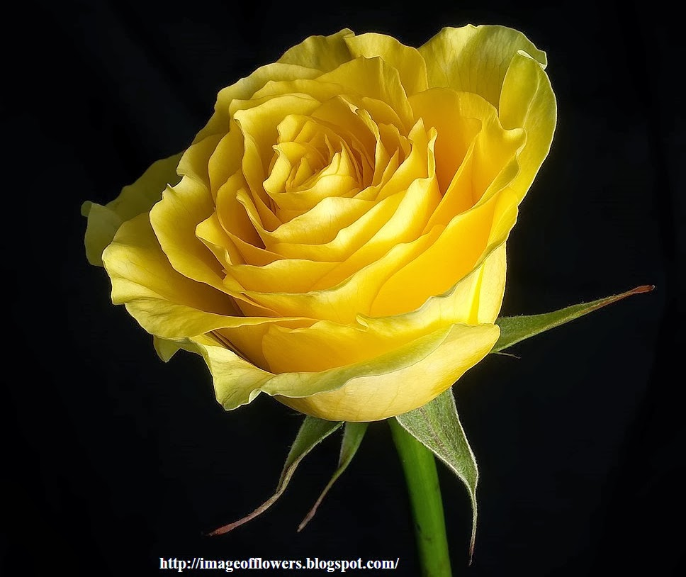 Flowers Online 2018 Beautiful Yellow Rose Flowers Wallpapers