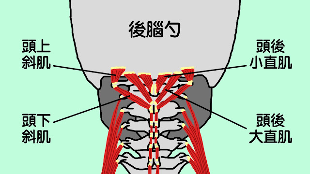 好痛痛 枕骨下肌群 頭上斜肌 頭下斜肌 頭後小直肌 頭後大直肌 解剖列車 筋膜 淺背線