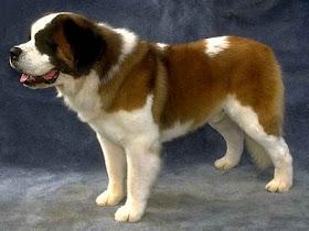 Dog Site Breeds Saint Bernard