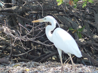 Grand héron blanc - Ardea herodias occidentalis