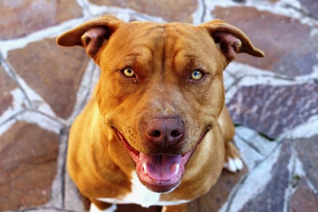 Un pit bull per amico jason pit bull maschio a roma for In cerca di una nuova casa