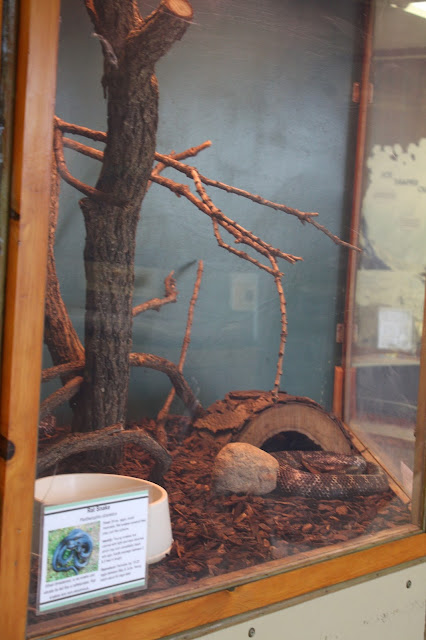 Rat snake at Crabtree Nature Center