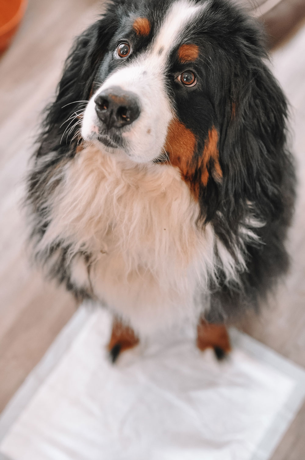 Kylo the Bernese Mountain Dog loves his Hartz Dog Pads