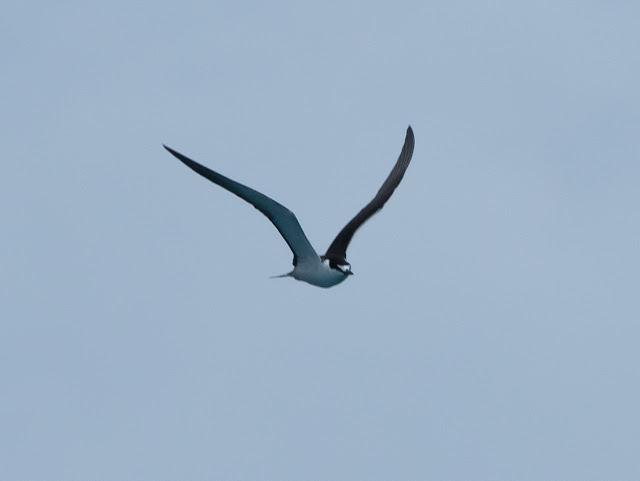Sooty Tern - Dry Tortugas, Florida