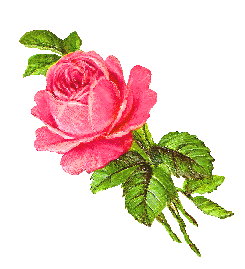 Antique Images: Free Pink Rose Digital Download Flower ...