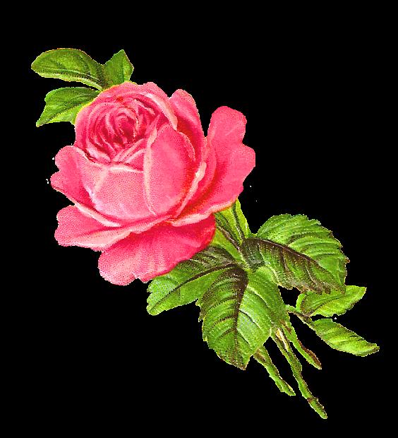 antique free pink rose