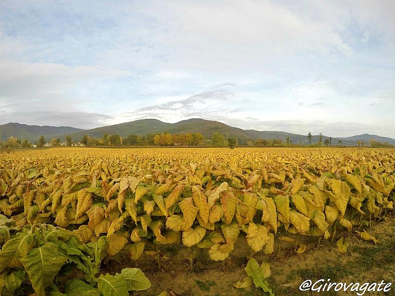 piantagioni tabacco Alta Umbria