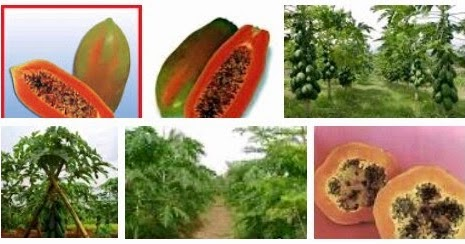 Cara menanam/budidaya buah pepaya bangkok thailand | TIPS ...