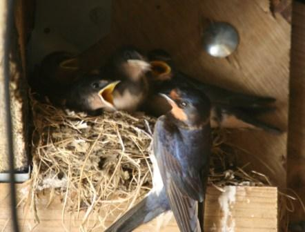 Image: Swallows nesting on the HenSafe Smallholding