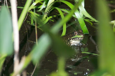 Green Frog (Lithobates clamitans)