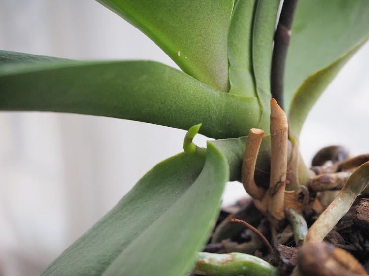 Phalaenopsis Orchidées