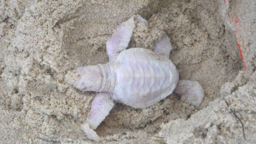 Photos: Just Incase You Want To See What An Albino Turtle Looks Like