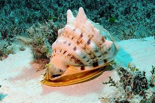 Moluska Kepala Kambing