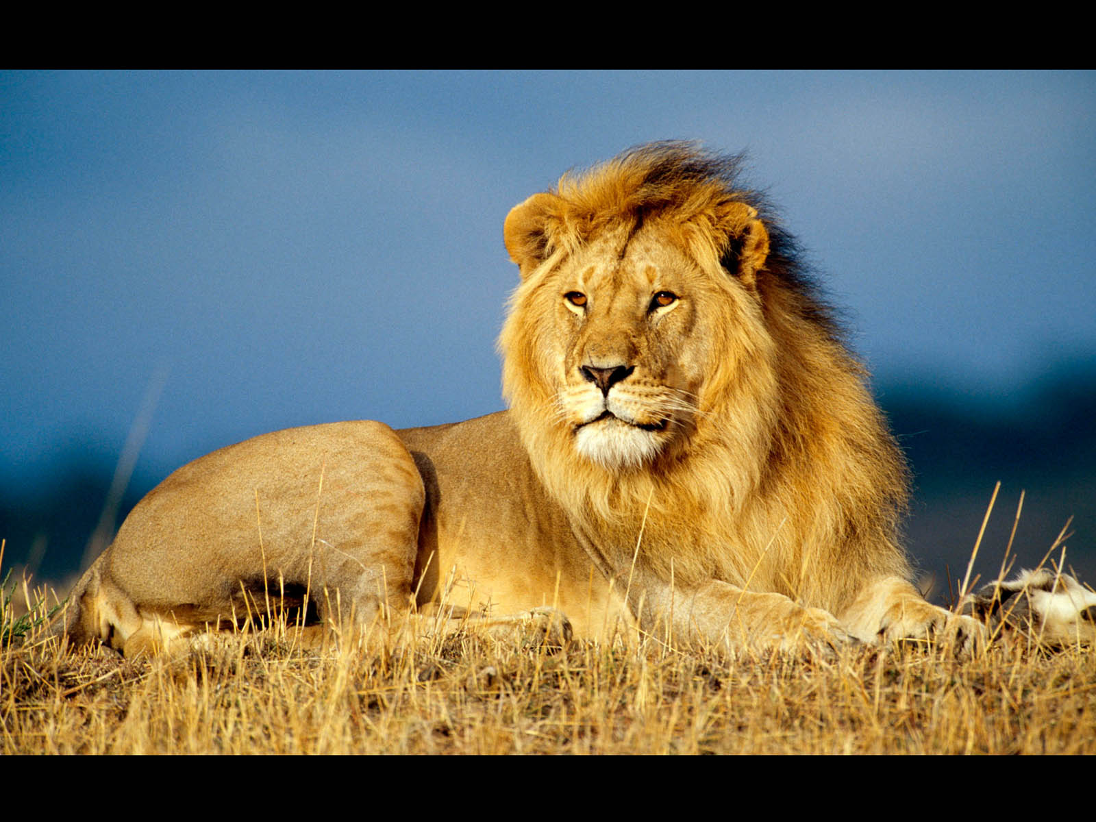 wallpapers: Male Lion Wallpapers
