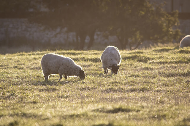 Morning Sheep