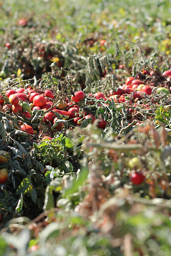 Tomaten kurz vor der Ernte | Arthurs Tochter Kocht von Astrid Paul