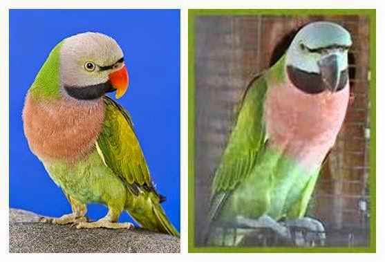 Cara Membedakan Betet Jantan Dan Betina Tips Merawat Burung Dan Harga Burung