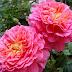 Cây hoa hồng bụi Christopher Marlowe (Christopher Marlowe rose)