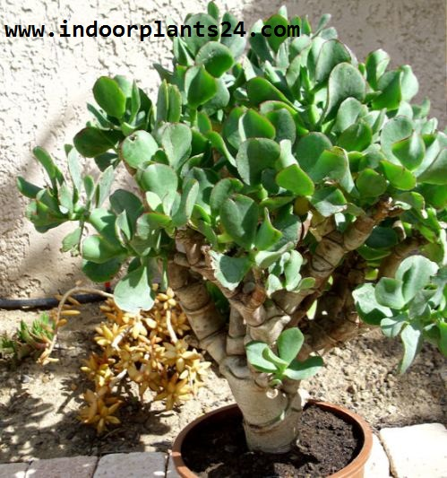 Crassulaceae Chinese Jade Plant potted