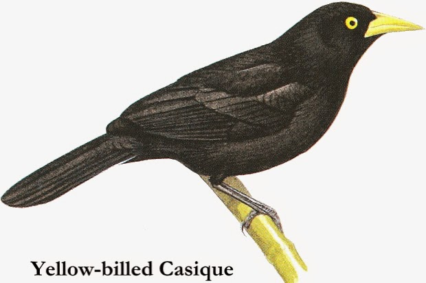 Yellow billed Cacique