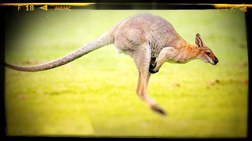 ऑस्ट्रेलिया का राष्ट्रीय पशु रेड कंगारू