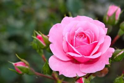 Gambar Ciri-ciri Bunga mawar