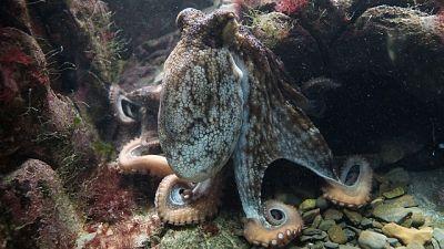 Pulpo en el fondo del mar, sobre las rocas