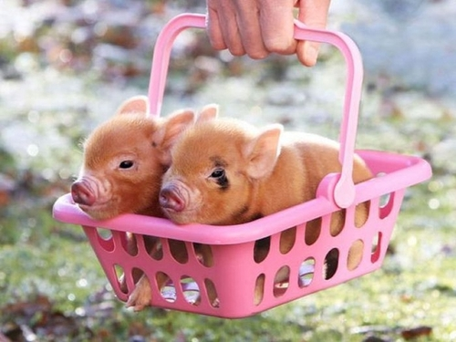 cute baby pigs cool stories and photos