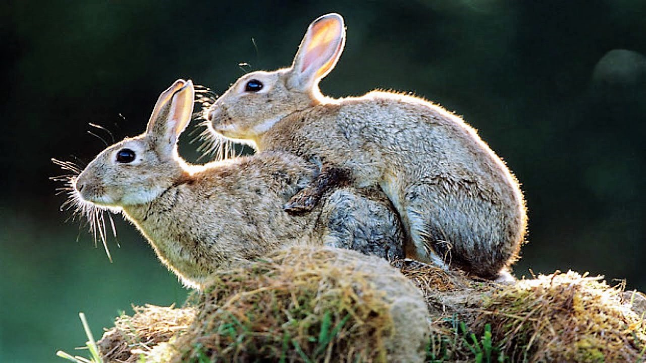 Neuken als konijnen