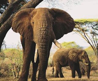 Gajah Terbesar