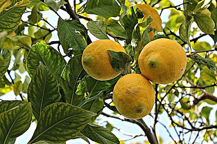 próstata y limonero