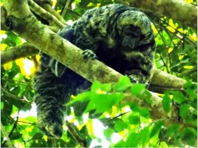 Macaco, monkey, espécie, unemat, nova espécie, animal, conservação, natureza, mato grosso, pesquisa