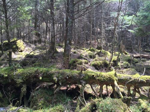 美濃戸の登山口から赤岳山荘までの苔むす道中