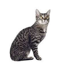 Kucing California Spangled dan Karakteristiknya