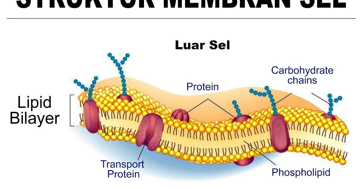 5 Fungsi lipid didalam tubuh manusia