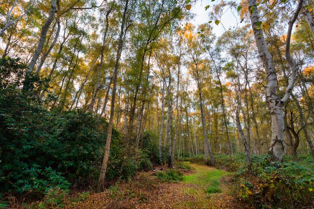 Magnificent silver birch woodland at Holme Fen in the Cambridgeshire Fens