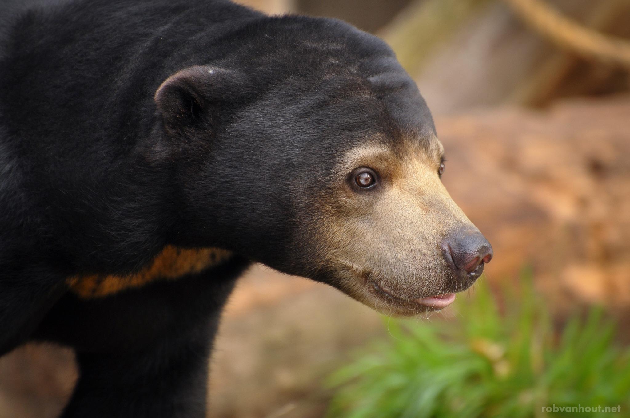 Malaysian Sun Bear — Burgers Zoo