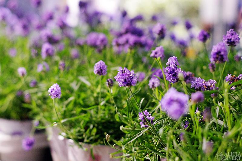 aliciasivert alicia sivert sivertsson trädgårdsmässa stockholmsmässan mässa mässan trädgård trädgårdar odling balkong kruka krukor krukväxt krukväxter odla blommor älvsjö inspiration utställning monter butik lavendel