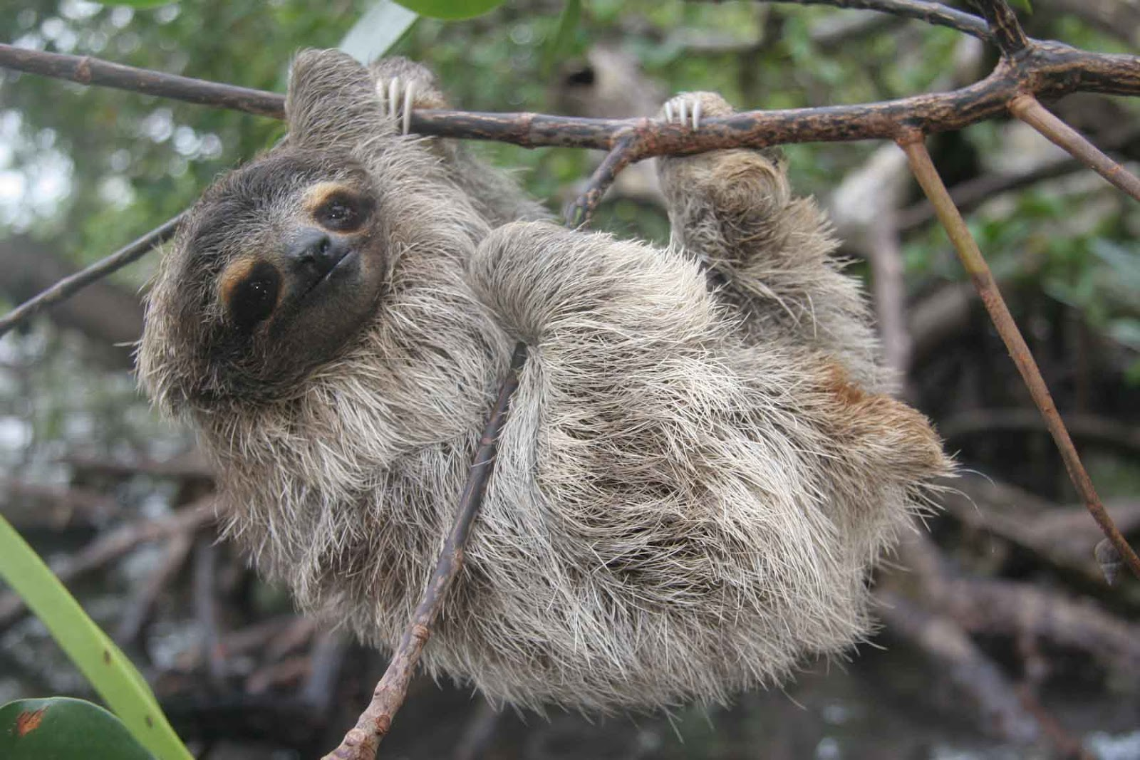 Three-toed tree sloths
