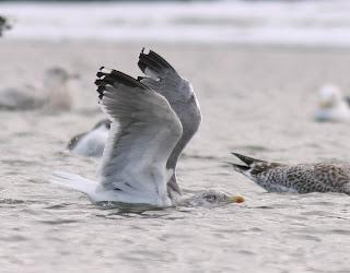 Lesser Black-backed Gull hybrid in flight