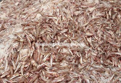 Quá trình chượp ủ cá (thuỷ phân)