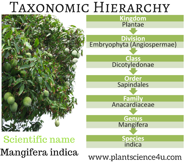 Taxonomic Hierarchy - Mango