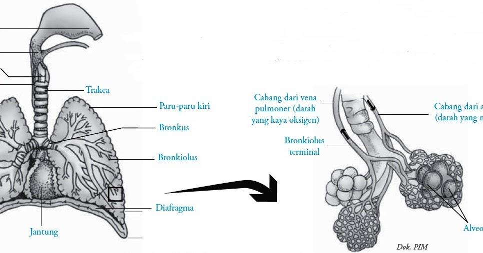 Struktur Dan Fungsi Paru Paru Pulmo
