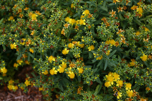 Blues Festival Hypericum from Proven Winners ColorChoice